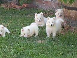 Venta cachorros samoyedo en Intibucá - Animales   Mascotas  1dbfc6d8880cb
