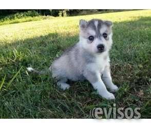Siberiano husky cachorros