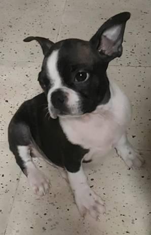 Oferta boston terrier